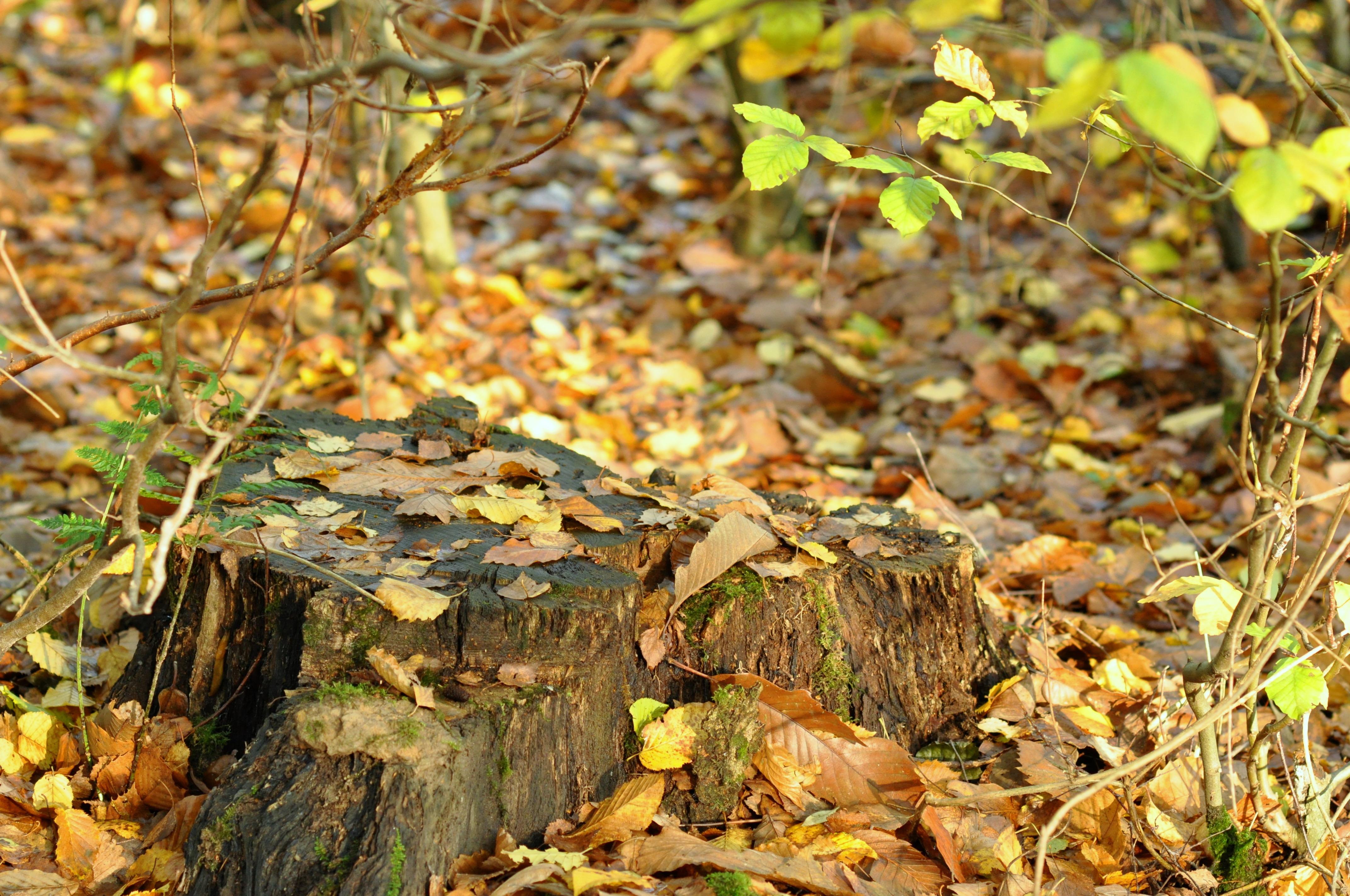 Vieille souche sous les feuilles
